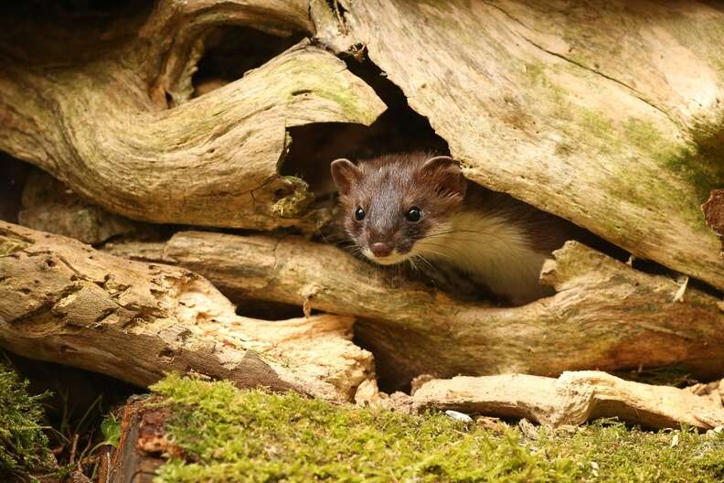 A stoat looks out of his burrow