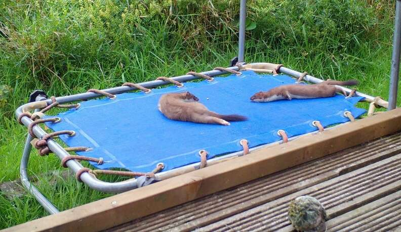 Stoat plays on trampoline