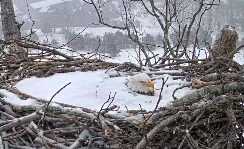 Bald eagle sits on her eggs in the snow