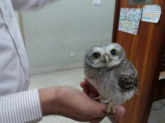 Baby owl rescued by office workers