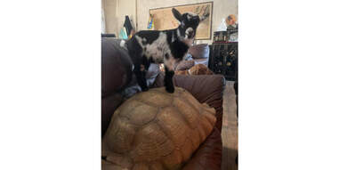 baby goat on top of turtle