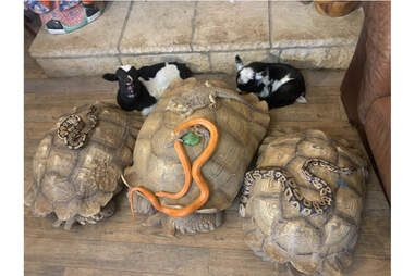 turtles snakes and cows in front of a fireplace