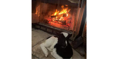 cow in front of a fire