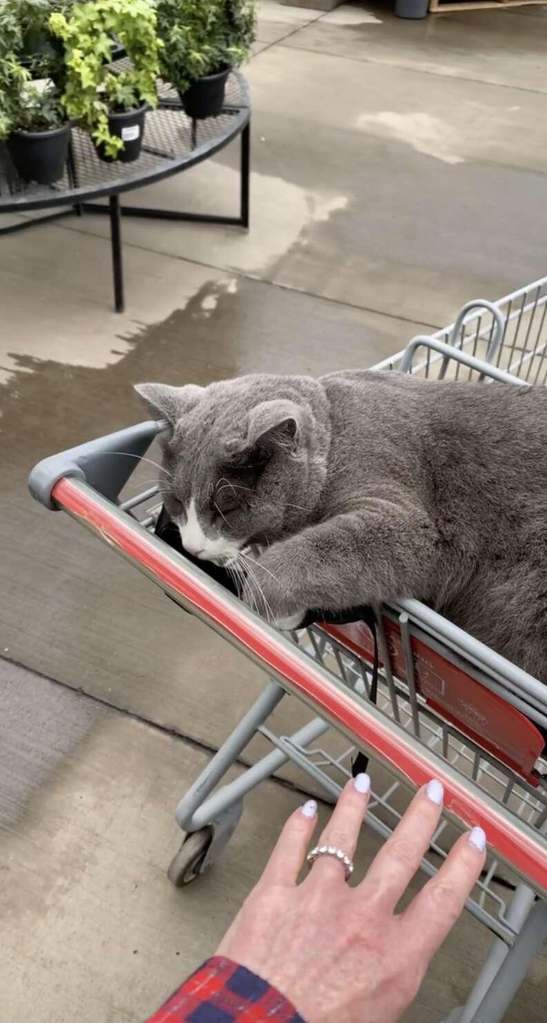 cat in cart