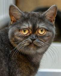 Exotic shelter cat has a sad face