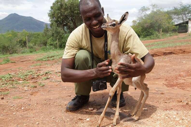 A baby Gerenuk with his caretaker