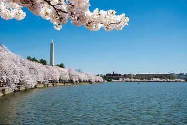 washington monument during cherry blossom season
