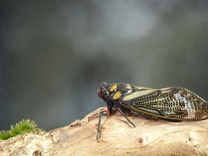 when will cicadas emerge