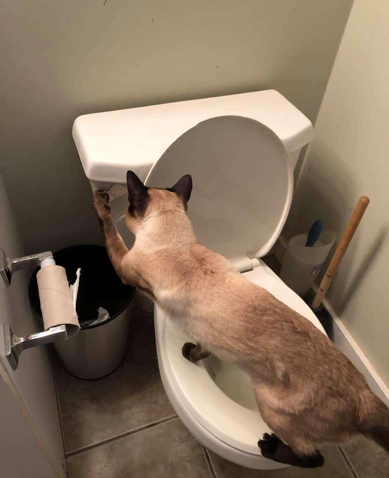 Cat compulsively flushes toilet