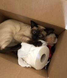 Cat steals toilet paper