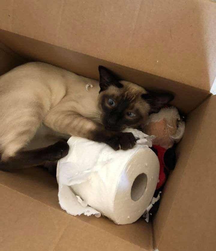 Cat steals toilet paper