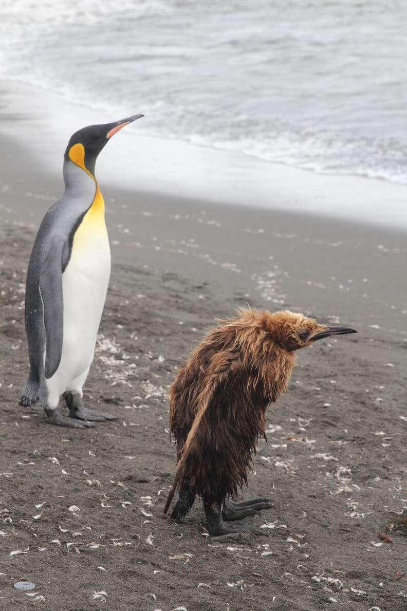 Awkward molting penguin chick