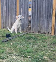 Dog tries to tear down fence to help his friends escape