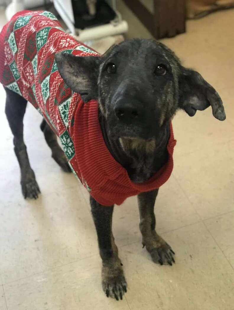 Dog with mange grows back hair