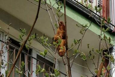 Croissant in a tree is mistaken for a scary animal