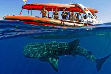 people on a boat above a whale shark