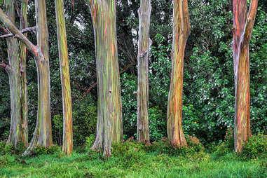 rainbow gum trees
