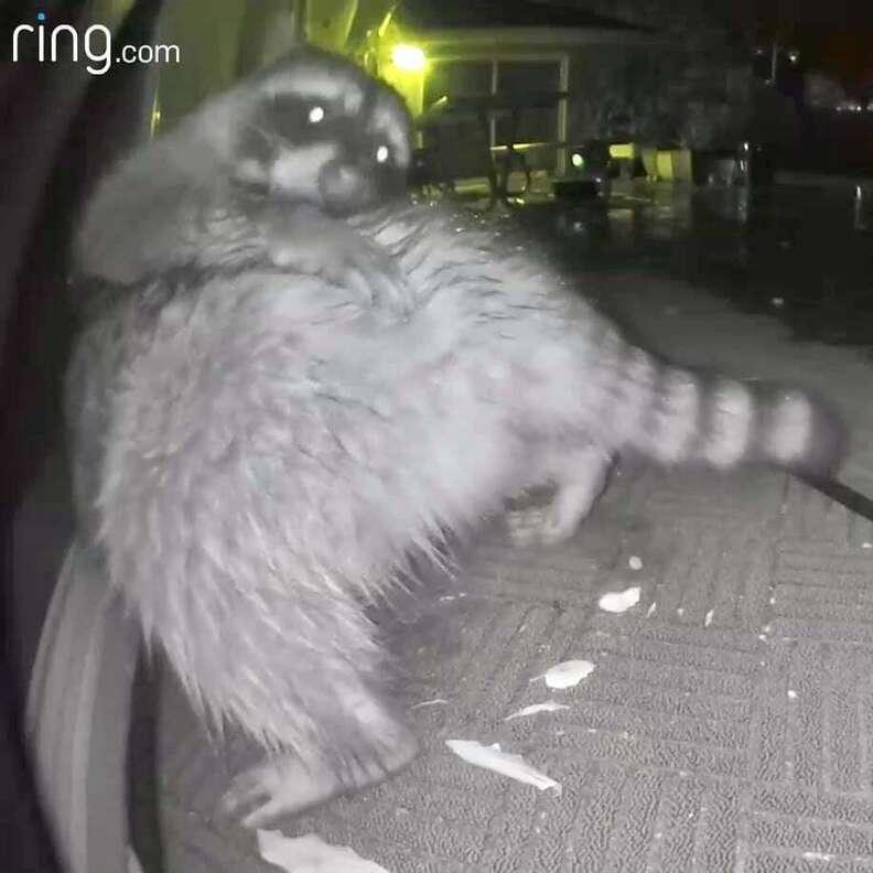 raccoon butt