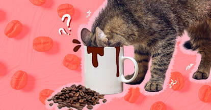 Cat smelling coffee