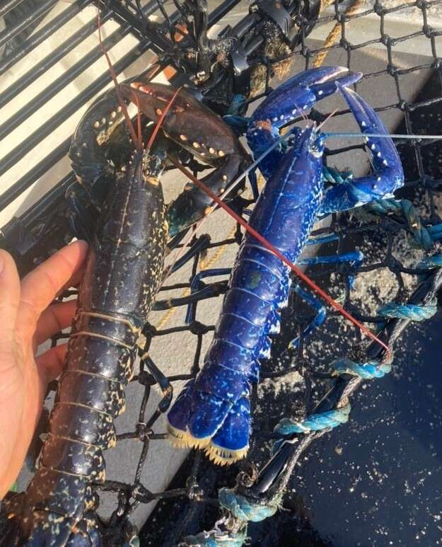 Rare blue lobster found off Cornish coast