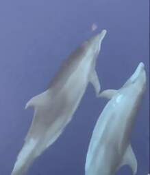 Dolphins display fin-to-fin touching