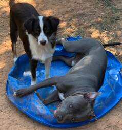 Rescued pit bull plays with his dog brother