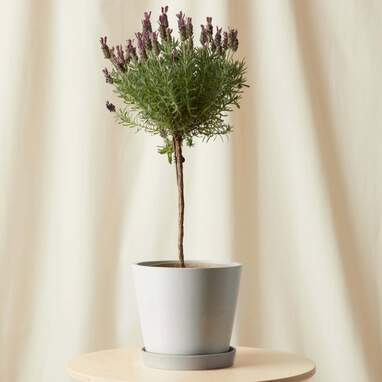 Potted Lavender Tree Indoor Plant