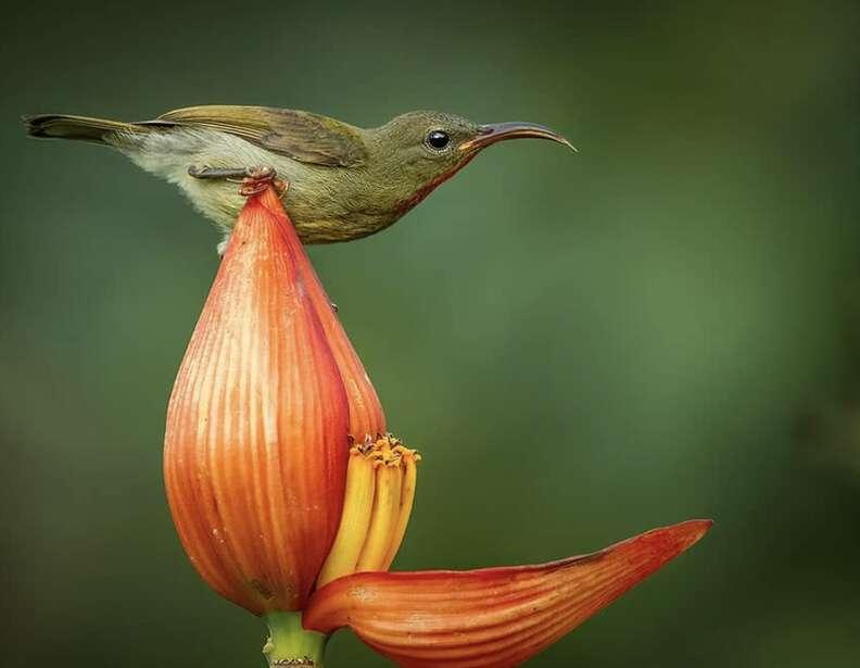 Crimson sunbird stealing nectar from a banana flower
