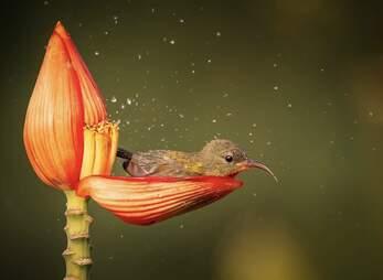 Bird takes a bath in a flower petal