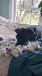 dog loves unicorn toys