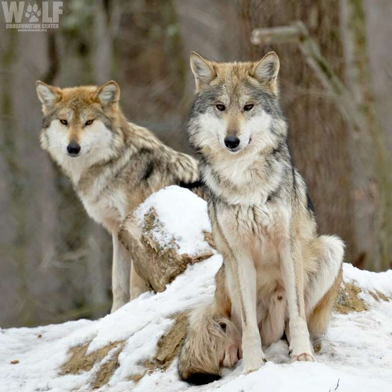 Mexican Gray wolf parents Trumpet and Lighthawk