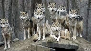 A wolf family portrait