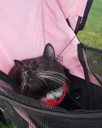 cat in a stroller