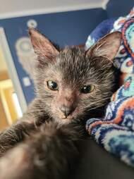 Kitten looks like a tiny werewolf