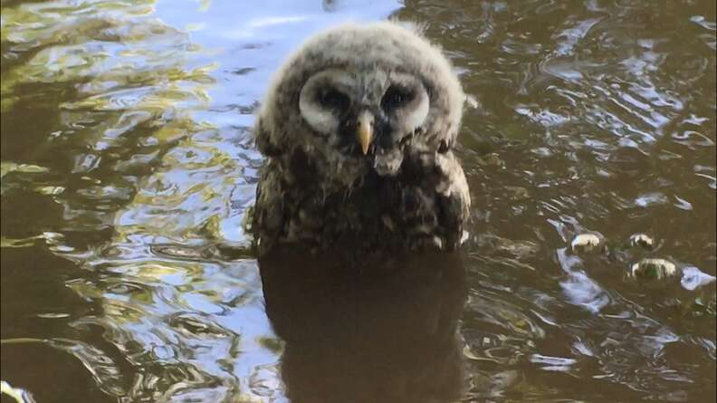 owl in river