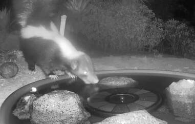 Skunk visits lady's backyard for a drink