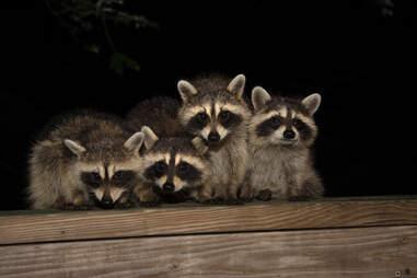 Baby raccoons at night
