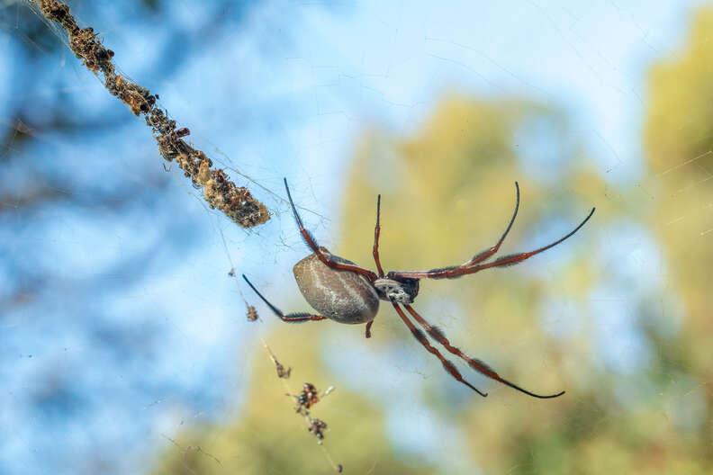 Golden orb weaver spider in Australia