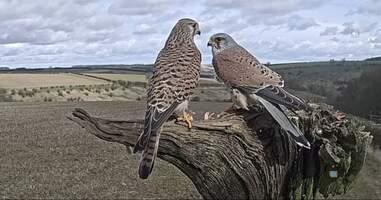 A pair of kestrels in the U.K.