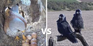 Kestrel fights off a jackdaw to protect her eggs