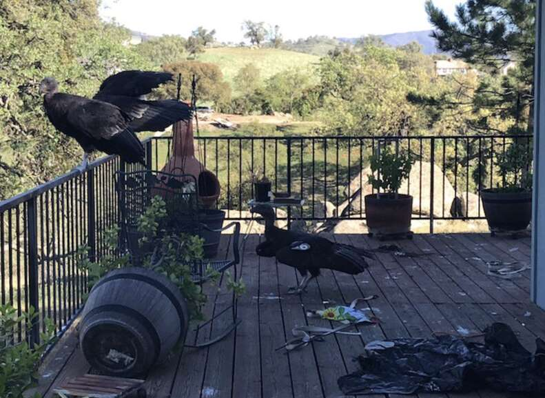Condors attack California home