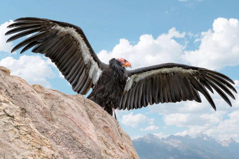 California condor showing off his wings