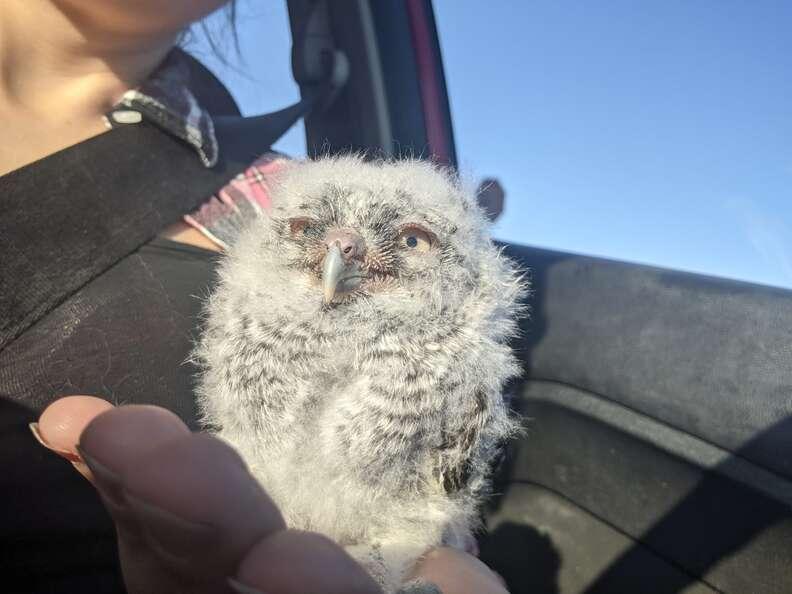Owlet snuggles rescuer in car