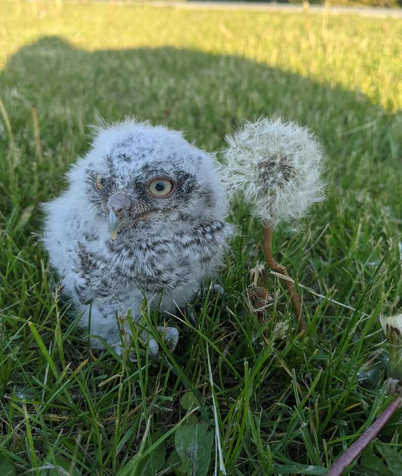 Woman rescues a baby owl who fell out of the nest