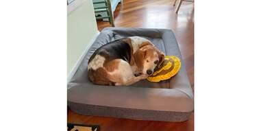 Dog in Casper dog bed