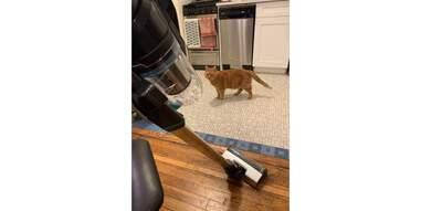 cat looking at vacuum