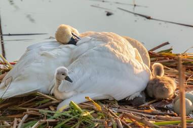 Swan dad snuggles his babies