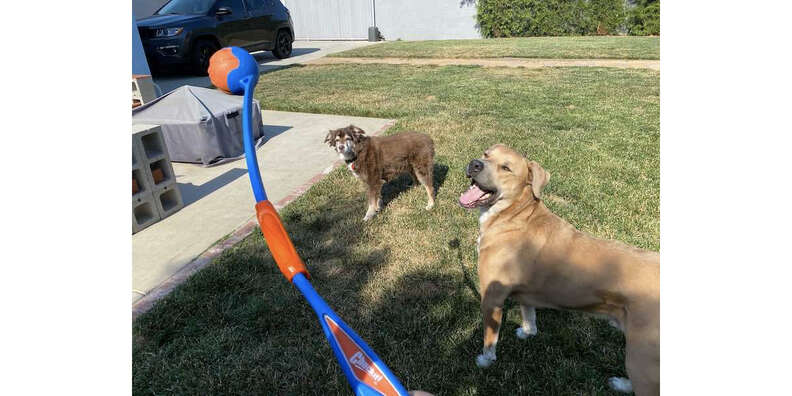 dogs waiting for ball from Chuckit! Fetch and Fold launcher