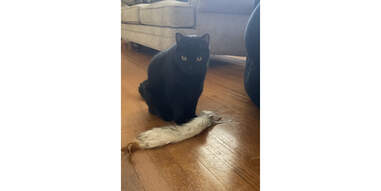 black cat sitting with the SmartyKat Chitter Critter toy
