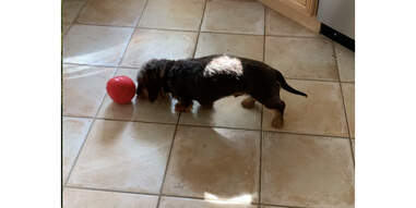 dog playing with Kong Wobbler toy on floor